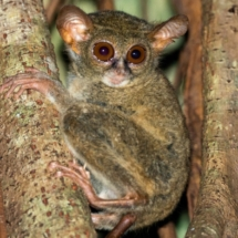 Tarsius small nocturnal monkey hanging on a tree in indonesia forest