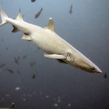 shark pregnant whitetip