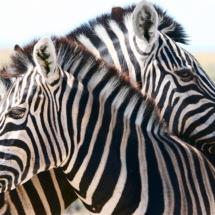 Etosha zebra resting