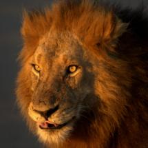 Lo¦êwe_im_Kruger_National_Park