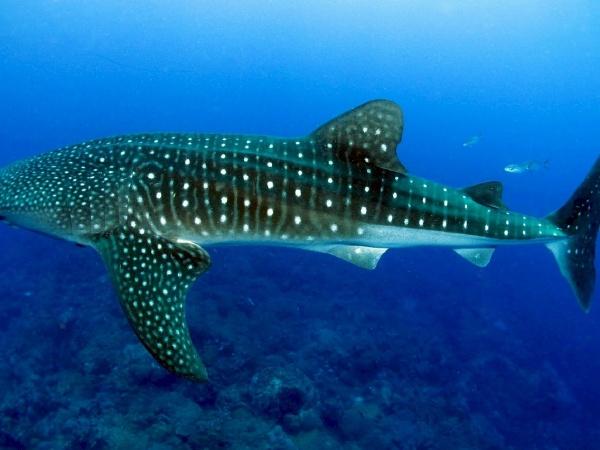 whale-shark-936691_1280